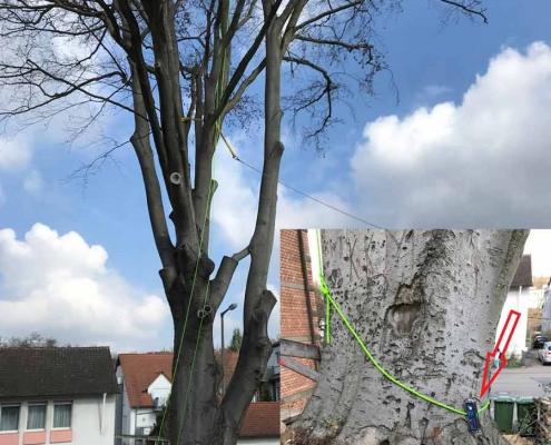 Buche_Baumuntersuchung