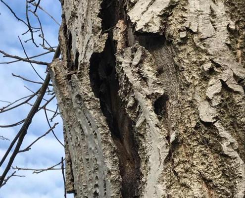 Walnussbaum Rindenabspaltung